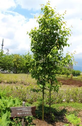 2本植えで、葉が込み入った「賢治ゆかりのヤマナシ」。(29.5.19)
