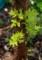 「アフチ・センダン」、順調に伸びている「胴吹きの芽」。(29.5.18)