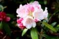 初々しい花、「ヤクシマシャクナゲ(屋久島石楠花)」(29.5.20)