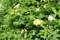 香りがある、「白花種」も咲いて…。(29.5.19)