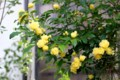 数多く咲いた「モッコウバラ(木香薔薇)」の花。(29.5.19)