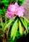 別名、「細葉石楠花」の「エンシュウシャクナゲ(遠州石楠花)」(29.5.