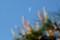 赤松の梢辺りに、「四月二十五日」のお月さまが…。(29.5.21)(6:58)