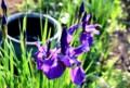 咲き出した「カマヤマショウブ(釜山菖蒲)」の花。(29.5.21)