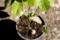 「コナラ(小楢)」・「クヌギ(櫟)」の芽生え。(29.5.21)