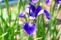 小振りで控えめな、「アヤメ(文目)」の花。(29.5.22)
