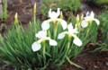白花の「アヤメ(文目)」。(29.5.22)
