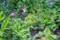 「シラン(紫蘭)」が咲き始めて…。(29.5.23)