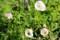咲き始めた「ヒルザキツキミソウ(昼咲き月見草)。(29.5.23)