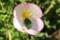 花の内側に、「カメムシ」のカップル?が…。(29.5.23)