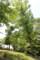 「クヌギ(櫟)」、若葉の輝き、大木の生命力、を観賞。(29.5.23)