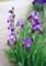辺りを明るくする、「ジャーマンアイリス」の花。(29.525)