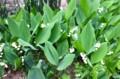 夏の花・「ドイツスズラン」も咲き始めて…(29.5.24)