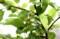 「ニュートンのリンゴの木」にも、果実が2、3個。(29.5.24)