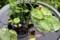「スイレン(睡蓮)」鉢、金魚は水底に…。(29.5.25)