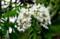 甘い香りを漂わす、「ニセアカシヤ」の花。(29..5.27)