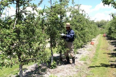 「りんご摘果作業」。(29.5.28)
