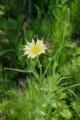空き地に群生する厄介物・「バラモンジン」の花。(28.5.29)