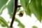 「賢治ゆかり・石鳥谷のヤマナシ」の実。(29.5.29)