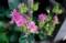 結実し始めた、変わり咲き・「菊咲苧環」。(29.5.30)