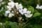 咲き始めた「ノイバラ(野茨)」の花。(29.5.30)