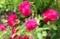 「賢治のバラ・グルス・アン・テプリッツ」の花。(29.6.4)