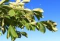 葉が一部、突風に呼ばされた「トチノキ(栃の木)」(29,6,4)