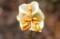 「カタクリ(片栗)」の種子・エライオソーム。(29.6.7)