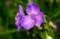 梅雨空に相応しい「ムラサキツユクサ(紫露草)」の花。(29.6.7)