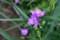 梅雨空に相応しい「ムラサキツユクサ(紫露草)」(29.6.7)