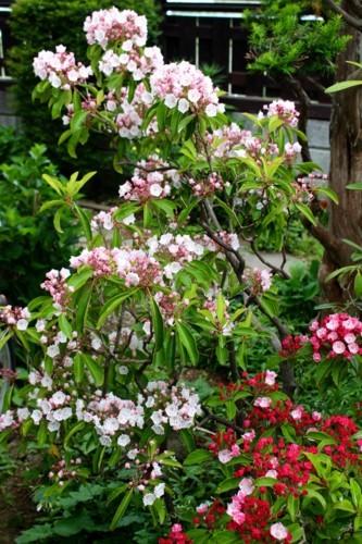 明るさが信条、「カルミア・アメリカ石楠花」の花。(29.6.7)
