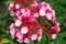 赤白が鮮明な品種「オスボレット」(29.6.7)