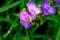 朝早くから、蜜蜂がせっせと蜜集め…。(29.6.8)