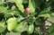 順調に成長している「ニュートンのリンゴノ木」の実。(29.6.8)