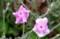 強い日差しに萎れ気味の「リクニス」の花びら。(29.6.8)