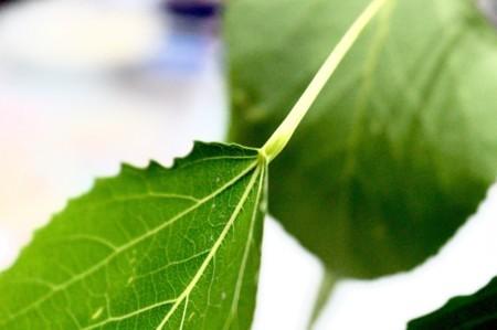 「ヤマナラシ」の「葉柄と葉身がつながる部分」。(29.6.8)