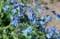 咲き始めた「シノグロッサム」。(29.6.9)