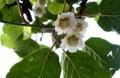 「キウイフルーツ」、実が生る雌花。(29.6.10)