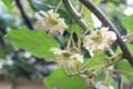 「キウイフルーツ」の雄花。(29.6.10)