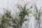 ユニークな「ベニシタン(紅紫檀)」栽培。(29.6.11)