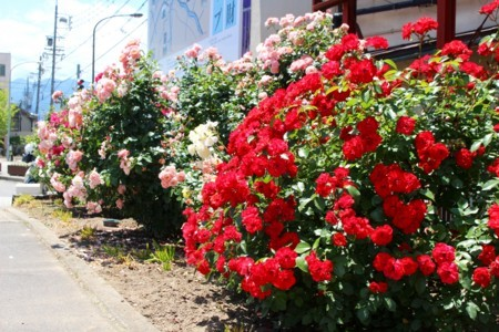 JR明科駅前のバラ。(29.6.12)