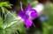 複雑な「花のつくり」の「デルフィニウム」。(29.6.13)