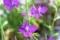 「デルフィニウム」も咲き始めて…。(29..6.13)