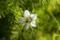 花のつくりが、面白い「クロタネソウ(黒種草)」。(29.6.13)
