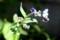 花序が蠍の尾、「シノグロッサム」。(29.6.16)