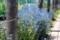 裏道わき「外庭花壇」、見頃の「シノグロッサム」。(29.6.16)