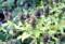 賢治ガーデンで咲いている、「ウツボグサ(靫草)」・「乃東」・「夏