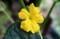 純黄色の、「胡瓜」の花。(29.6.18)