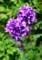 秋の花、「ヤツシロソウ(八代草)」(29.6.19)
