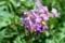 乾燥で、花も項垂れて…。(29.6.20)